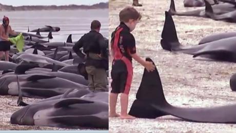 Tragedia w Nowej Zelandii 650 wielorybów wyrzuconych na brzeg nie żyje 400