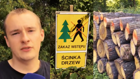 Mieszkańcy Białowieży popierają wycinkę w Puszczy Dużo drzewa leży i się marnuje Część człowiek spaliłby w piecu